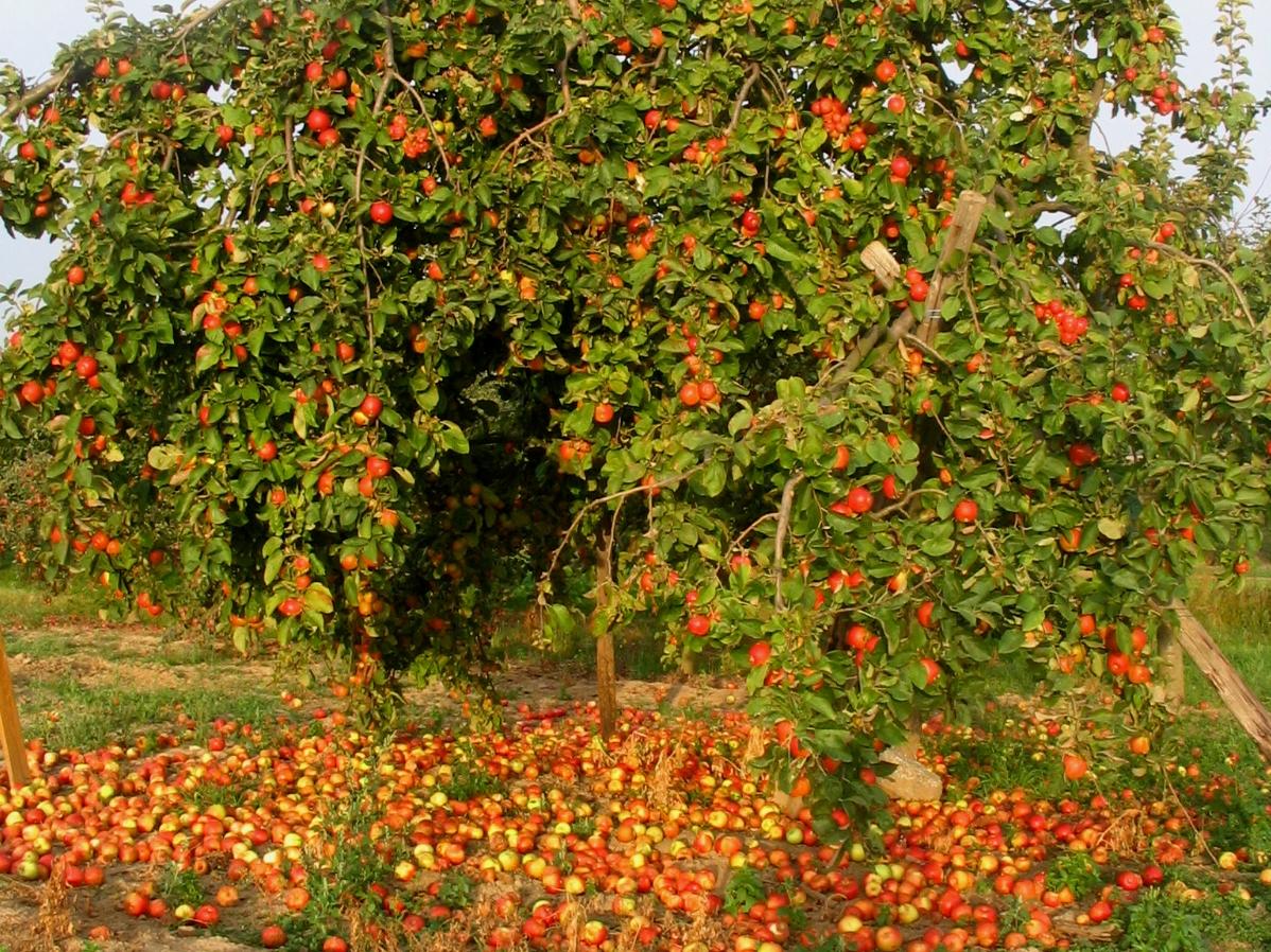 Erntezeit: Abscisinsäure und Ethylen in reifen Früchten und Trenngeweben sorgen im Herbst dafür, dass Früchte von der Mutterpflanze abfallen.