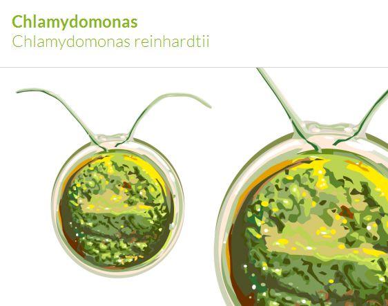 Die einzellige Grünalge Chlamydomonas reinhardtii ist ein in der synthetischen Pflanzen-Biologie etablierter Modellorganismus.
