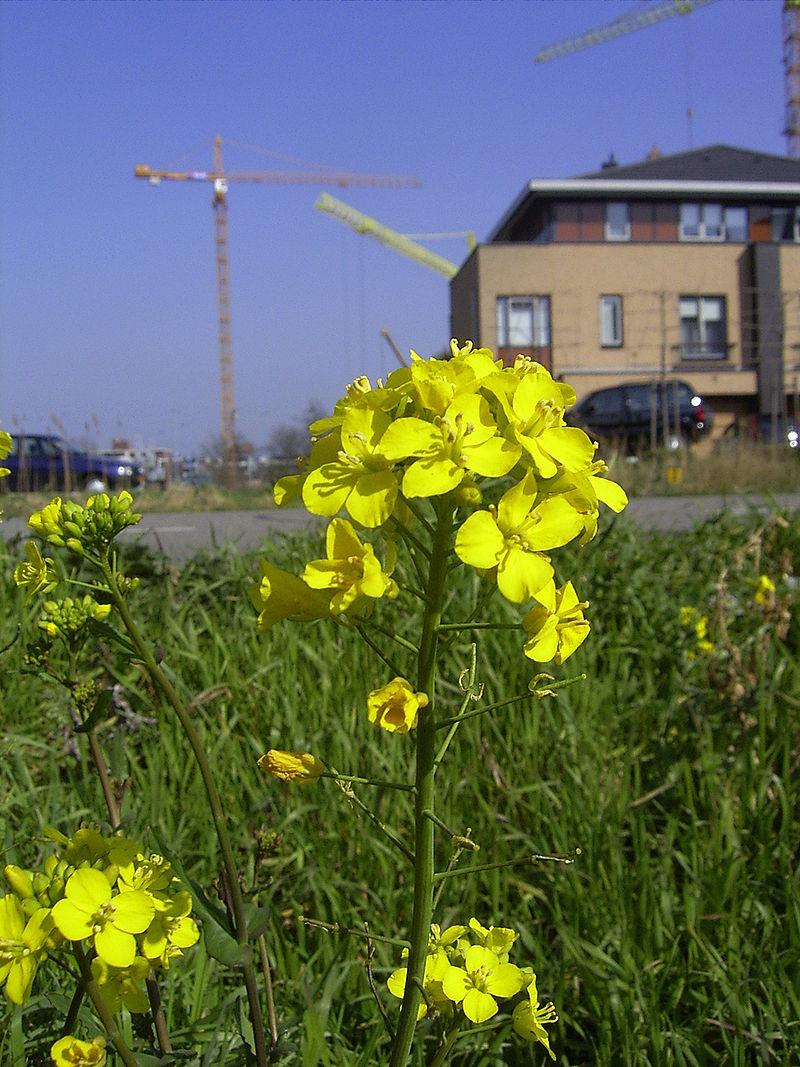 Die Rübse (Brassica rapa), ein Elternteil des Rapses,würde im Rapsfeld kaum auffallen.