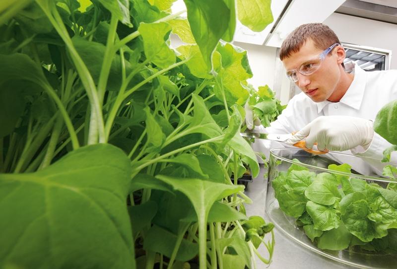 Wirkstoffernte: Matthäus Langer schneidet Tabakpflanzen, die Proteine für einen Impfstoff gegen Lymphdrüsenkrebs in ihren Blättern produziert haben. Im Wuppertaler Labor haben Bayer-Forscher ein mehrstufiges, leistungsfähiges Aufreinigungsverfahren für die Proteine aus den Tabakgewächsen entwickelt.