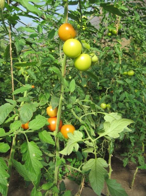 Kulturomaten wurden mit Wildtomaten gekreuzt, um Abwehrmechanismen gegen Schädlinge in den kultivierten Tomaten einzuführen. (Quelle: © Wilhelmine Wulff / pixelio.de)