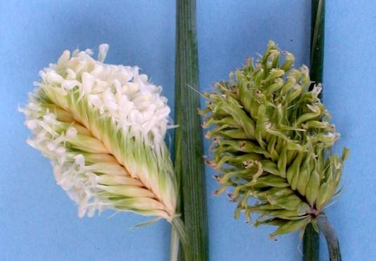 Blüten von Gerste im Vergleich. Gerste ist wie Weizen ein Selbstbefruchter. Bei der Selbstbestäubung gelangt der eigene Pollen auf die Narbe und befruchtet so die Eizelle der Blüte.