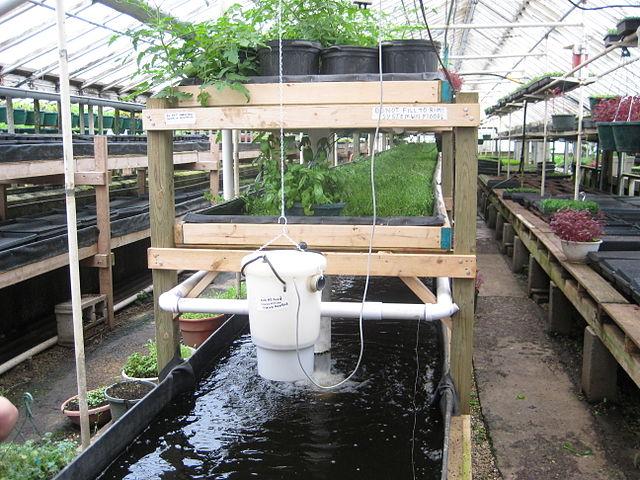 Aquaponik verbindet die Aufzucht von Fischen in Aquakultur und die Kultivierung von Nutzpflanzen in Hydrokultur.