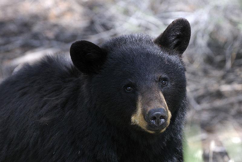 Alles ist miteinander verbunden, auch Schwarzbären und Wiesen. (Bildquelle: © Hans Stieglitz/ wikimedia.org/ CC BY-SA 3.0)