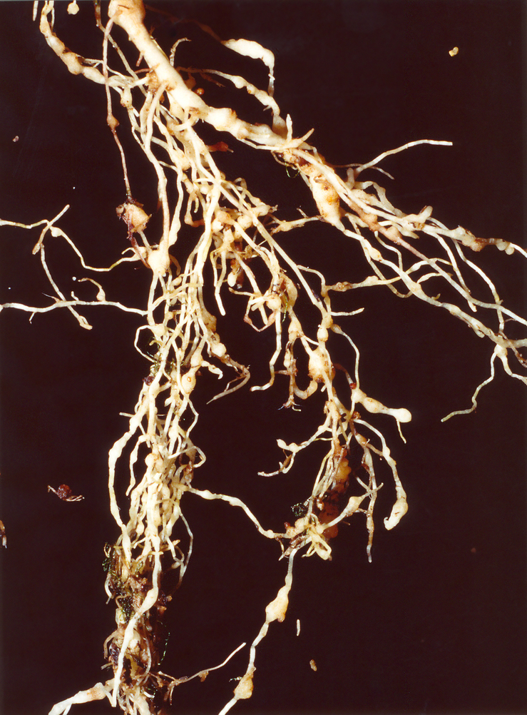 Nematoden infizieren nicht nur die Wurzeln von Zuckerrüben, sondern von einer Vielzahl anderer Nutzpflanzen. Im Bild zu sehen: Zysten an einer Tomatenwurzel.