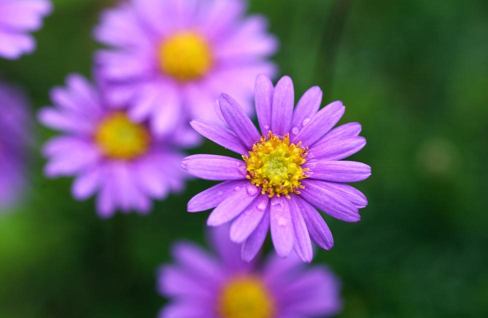 Nichtcodierende DNA beeinflusst auch die Blütenbildung, wie z. B. beim Blauen Gänseblümchen (Brachyscome iberidifolia).