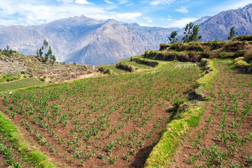 Mais, der in anderen Teilen der Welt - wie hier in Peru - angebaut wird, ist an andere Umweltbedingungen angepasst als einheimischer Mais. Beim Züchtungsprozess kann das zu Problemen führen. (Bildquelle: © jkraft5/Fotolia.com)