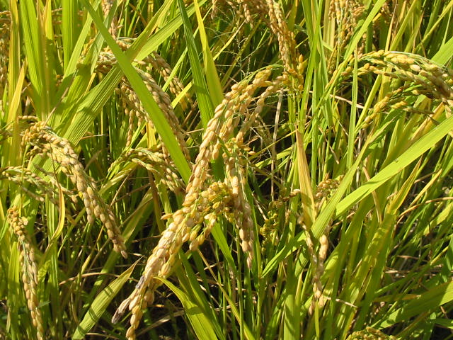 Reis. Um Erträge zu erhöhen, konzentrierten sich Züchtungsprogramme im Zuge der