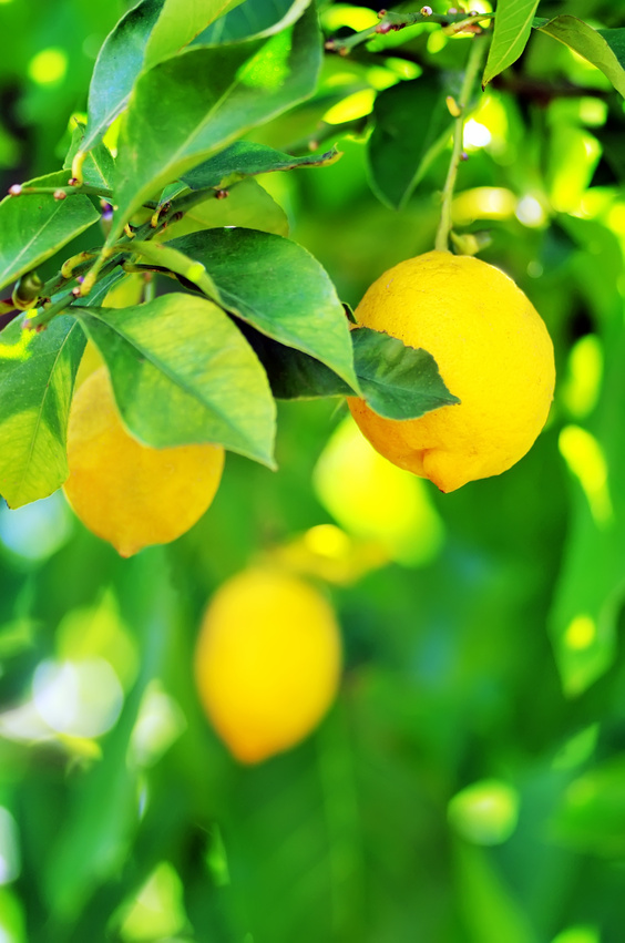 Zitronen sind eine Kreuzung aus der Zitronatzitrone (Citrus medica) und der Bitterorange (Citrus × aurantium).