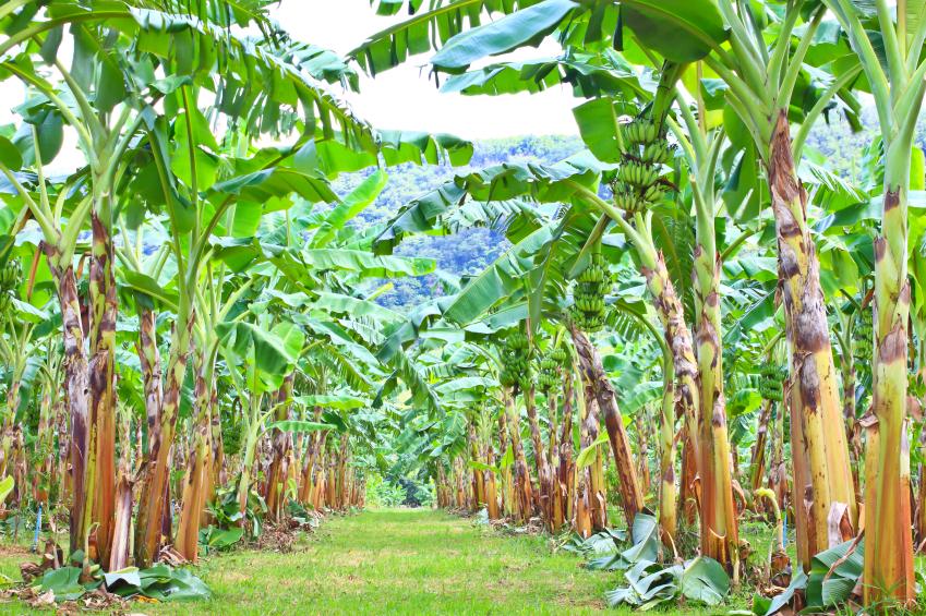 Bananen werden größtenteils auf Plantagen in Monokultur kultiviert. Durch die Monokultur haben Krankheitserreger und Schädlinge leichtes Spiel.
