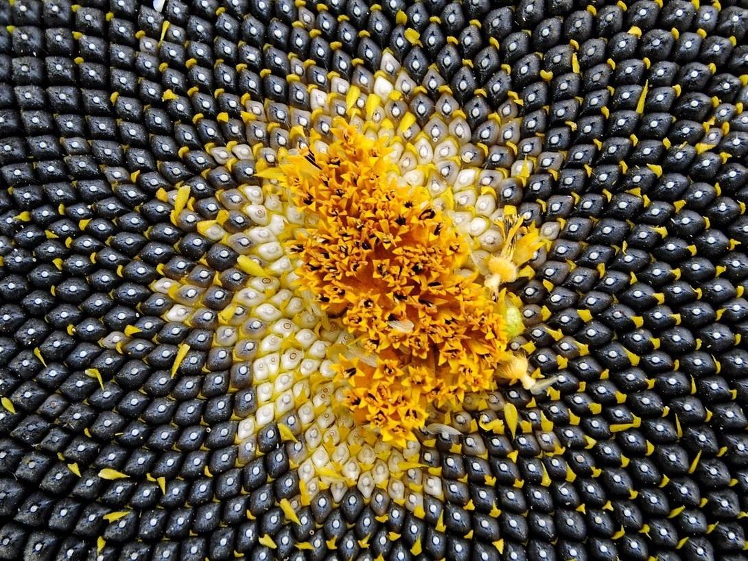 Bei der Samenbildung (hier: Sonnenblumensamen) hat das Peptid TWS1 eine zentrale Rolle beim Schutz der Embryos vor Trockenheit. (Bildquelle: © Silke Wurm/Pixabay/CC0)