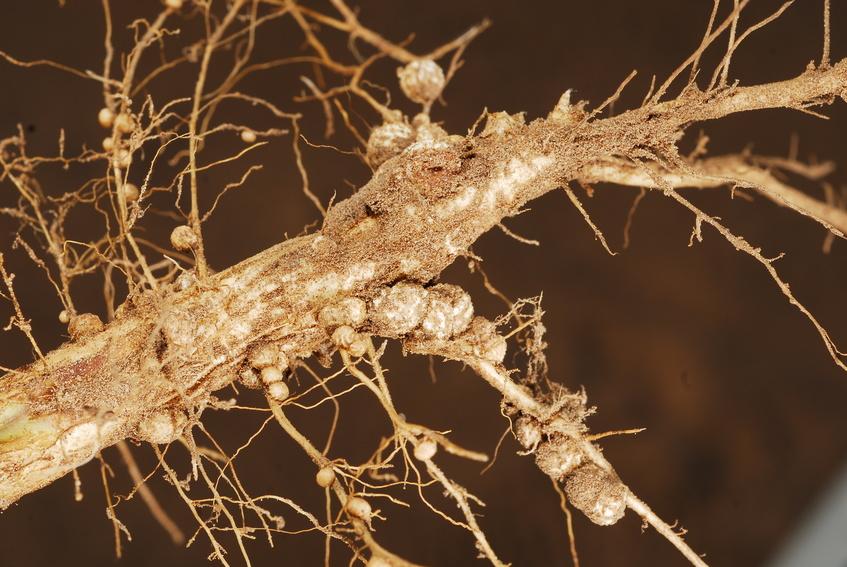 An der Steuerung einer ausgewogenen Symbiose bei Leguminosen ist auch eine miRNA beteiligt. (Bildquelle: © MartinGomezAlzaga / Fotolia.com)