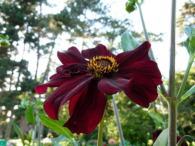 Dahlia variabilis hort. ist eine beliebte Gartenpflanze.