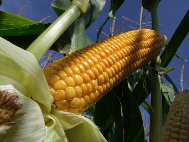 In der Studie wurde gentechnisch veränderter Mais an Ratten verfüttert. (Quelle: © Richard von Lenzano / pixelio.de)