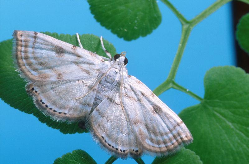 Das Mottenweibchen der australischenCataclysta Camptozonale ist ein Beispiel für die rein biologische Unkrautbekämpfung. Sie wird eingesetzt, um Weinreben vor Kletterfarnen (Lygodium) zu schützen.