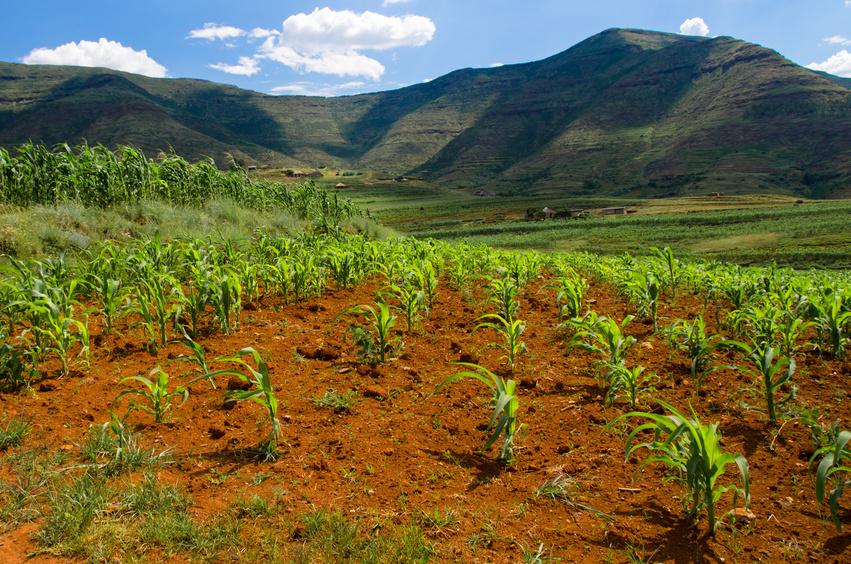 Forscher untersuchten die Entwicklung von modernen Maissorten vor dem Hintergrund des Klimawandels in Afrika. Die fortschreitende Erwärmung der nächsten 35 Jahre wird der Studie zufolge dafür sorgen, dass die Reifungszeiten von Mais nicht mehr mit den dann vorherrschenden klimatischen Bedingungen übereinstimmen werden und das Ertragsverluste nach sich zieht.