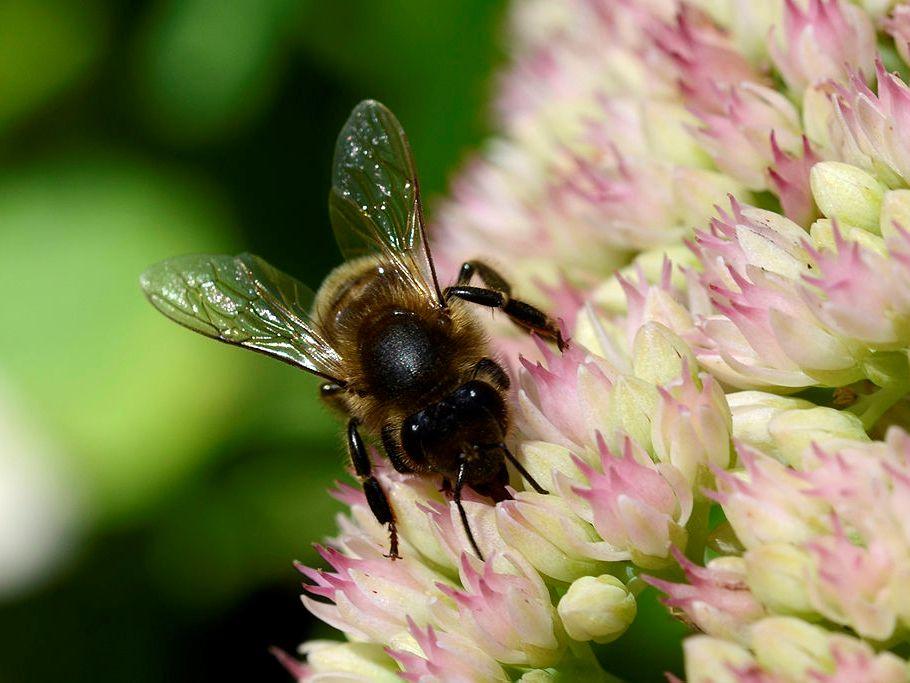 Bienen zählen zu den wichtigen Bestäubern. (Quelle: © Alias 0591/Wikimedia.org; CC BY 2.0)