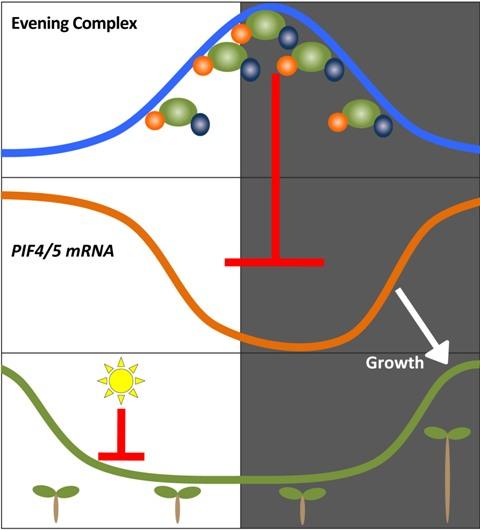 """Nach einem neuen Model der Wissenschaftler bewirkt der """"Abend"""" Proteinkomplex bestehend aus den Eiweißen ELF4, ELF3 und LUX , dass Arabidopsis-Pflanzen in den frühen Morgenstunden wachsen. Tagsüber sorgt das Tageslicht dafür, dass die wachstumsfördernden Proteine PIF4 und PIF5 abgebaut werden. In den Abendstunden und während der frühen Nacht wird ihre Produktion durch den Abendkomplex geblockt (roter Pfeil). In den frühen Morgenstunden zerfällt der Abendkomplex und die PIF4- und PIF5-Gene können aktiviert werden. Der gemessene Gehalt ihrer Genprodukte (mRNA) steigt und die Sprossachse der Pflanzen verlängert sich (weißer Pfeil) (Quelle: © Yhew Pongsawakul)."""