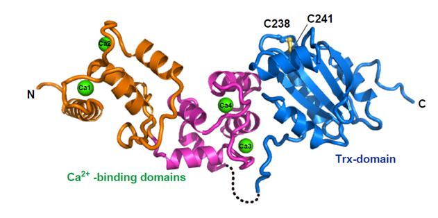 Visualisierung des neu entdeckten Calredoxin-Proteins.