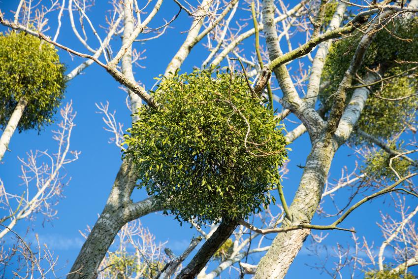 Misteln sind sogenannte Halbschmarotzer - sie parasitieren Wirtspflanzen und leben teilweise von ihnen. (Bildquelle: © unicusx/Fotolia.com)