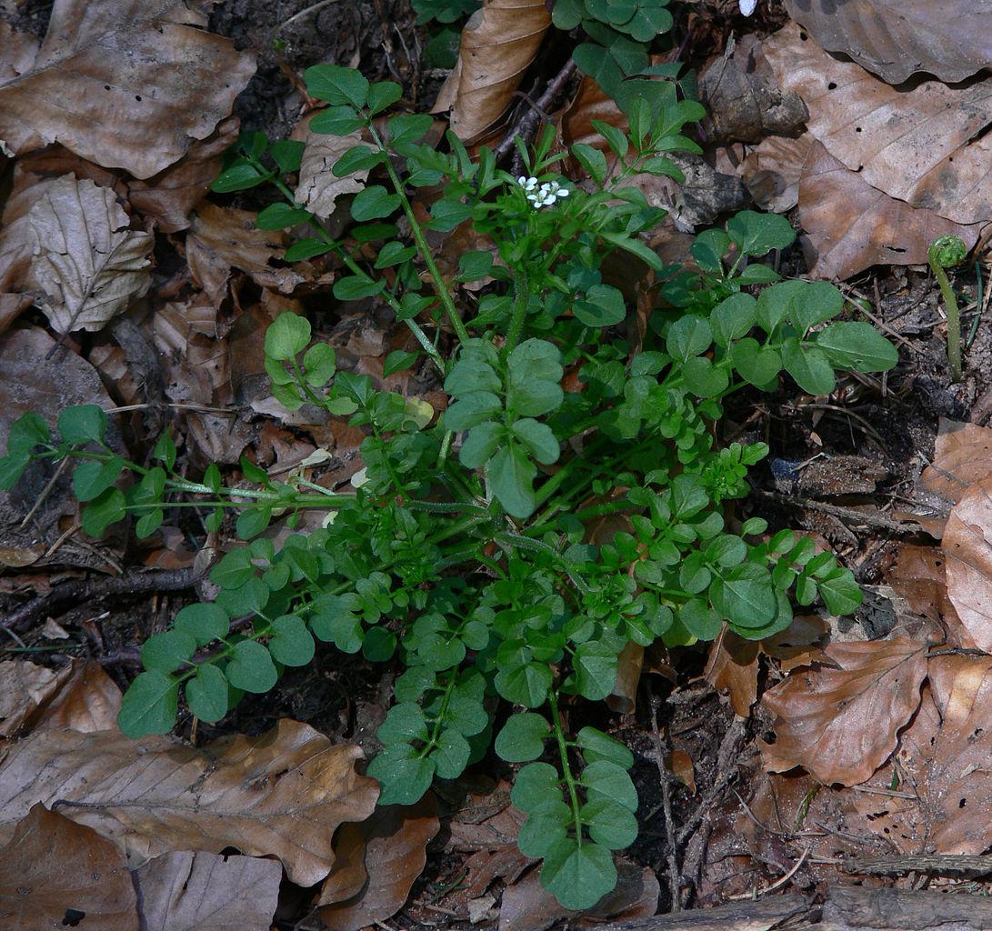 Das Wald-Schaumkraut (Cardamine flexuosa) ist eine krautige Pflanze, die in Mitteleuropa heimisch ist.
