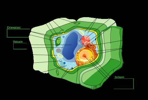 Der Aufbau einer pflanzlichen Zelle. Oben rechts ist der (rot eingefärbte) Golgi-Apparat abgebildet.