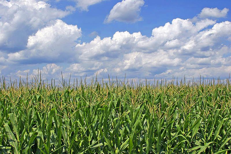 Mais, soweit das Auge reicht. Im Jahr 2011 wurden in Deutschland 2,5 Millionen Hektar Ackerfläche mit Mais bebaut. (Quelle: © Graylight / Wikimedia.org; CC BY-NC 2.0)