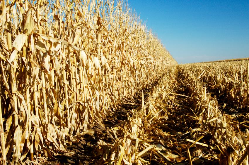 Nach der Maisernte, bleiben die nicht essbaren Reste zurück. Dieses sogenannte Maisstroh besteht aus den Stängeln und den Blättern. (Quelle: © iStock.com/photosbyjim)