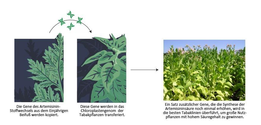 Neue Methoden der Pflanzenbiotechnologie könnten die kostengünstige Massenproduktion eines Malariamedikaments ermöglichen. Durch den Transfer von Genen des Einjährigen Beifuß in Tabak kann die natürlich vorkommende Artemisininsäure in großem Maßstab produziert werden.