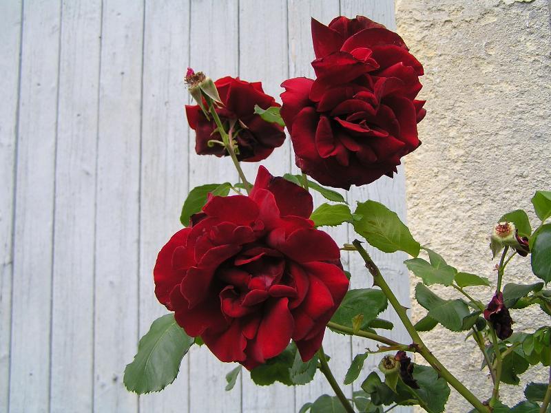 Blütenblätter von Rosen reflektieren besonders wenig und absorbieren besonders viel Licht.