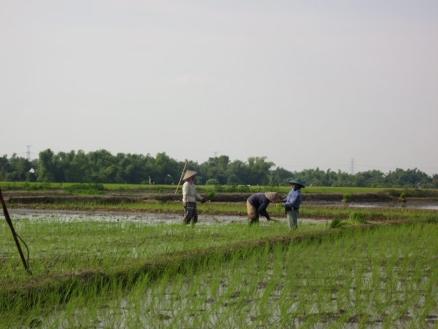 Landarbeiter bestellen das Nassreisfeld.