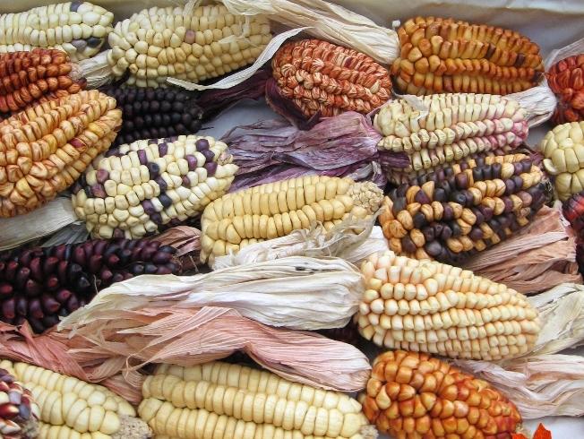 Genetische Diversität bei Mais entsteht auch durch Transposons.