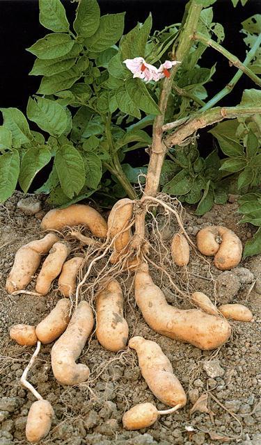 Kartoffeln gehören weltweit zu den Grundnahrungsmitteln (Quelle: © Geschäftsstelle Pflanzenforschung)