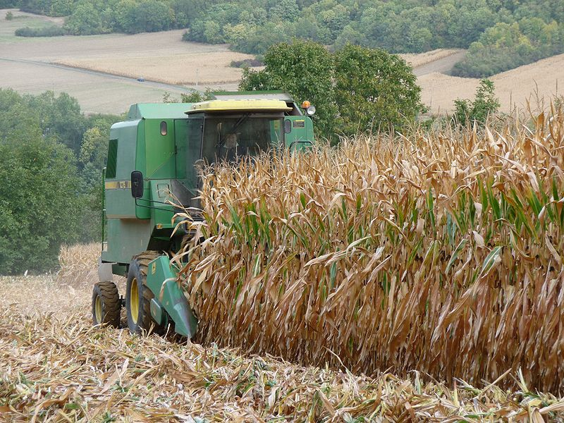 Die Forscher untersuchten den Celluloseabbau mittels Enzymen in trockenen Maistängeln. Mais ist für die Forschung eine Modellpflanze der Einkeimblättrigen und erlaubt damit Rückschlüsse auf die Mechanismen in anderen einkeimblättrigen Pflanzenspezies.