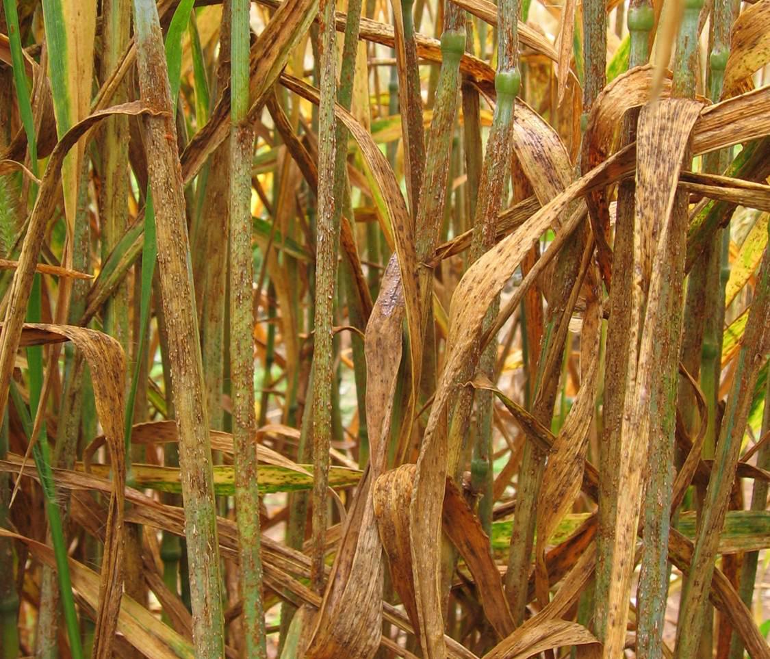 Ein von Rostpilzen zerstörtes Weizenfeld in Njoro, Kenia. (Image courtesy of Matt Rouse)