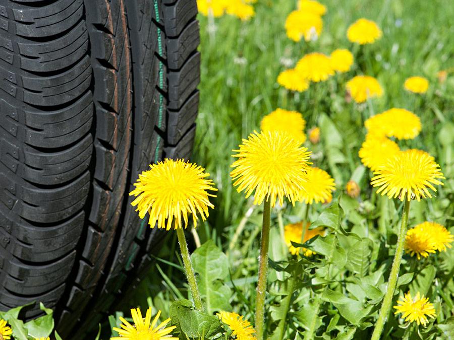 Aus Löwenzahn-Kautschuk wurden schon erste Reifen-Prototypen hergestellt. (Bildquelle: © Ulrich Benz / TUM)