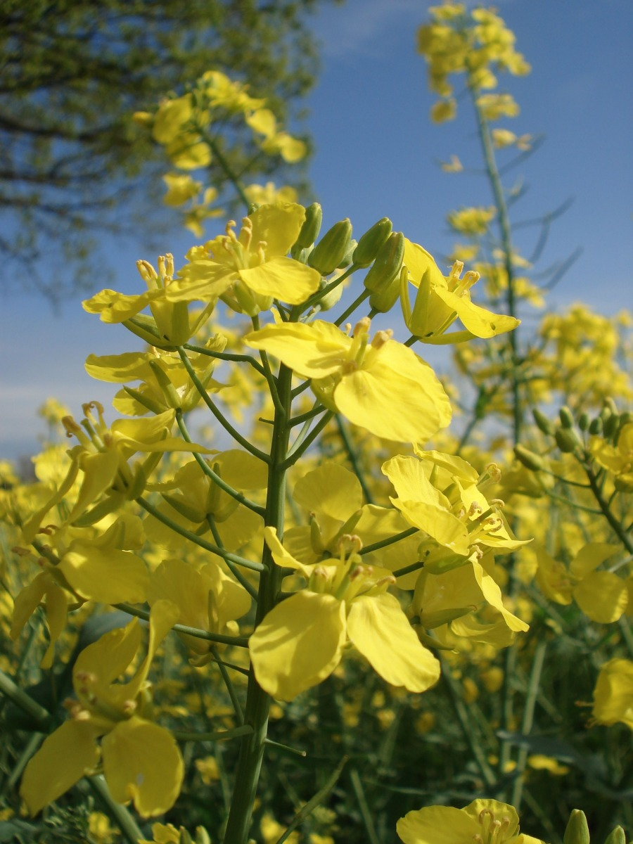 Die neue Technologie beschleunigt die Züchtung genetisch komplexer Nutzpflanzen wie Raps (Quelle: © snuesch / pixelio.de)