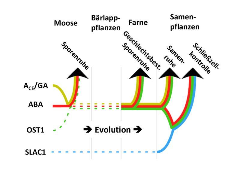 Die Forscher konnten beweisen, dass sich im Laufe der letzten 450 Millionen Jahre die Funktion von Abscisinsäure von der Geschlechtsfestlegung, hin zu Prozessen wie der Keimruhe und weiter zur Transpiration und schließlich zum CO2-Austausch erweitert hat.