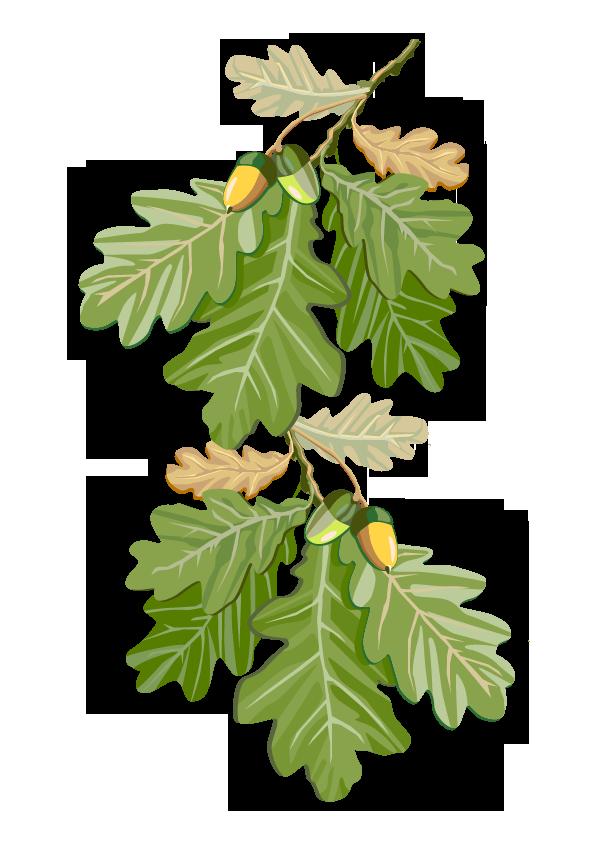Pflanze: Eiche