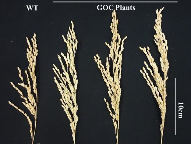 Wildreis (links) und drei GOC-Reislinien, die sich in der Größe deutlich abheben.