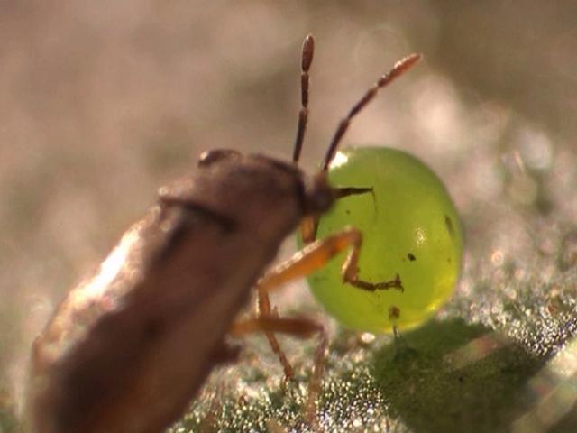 Eine Raubwanze wird durch grüne Blattduftstoffe angelockt und vertilgt daraufhin das Ei eines Tabakschwärmers. (Copyright: Merit Motion Pictures, Winnipeg, Manitoba, Canada)