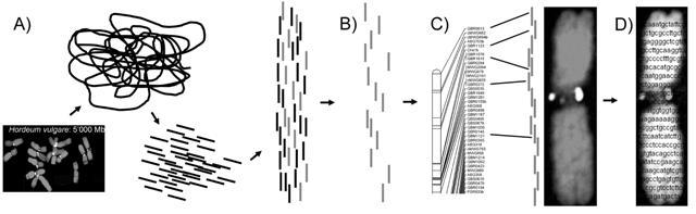 Der lange Weg von der DNA über die vollständige Genomsequenz bis zur physikalischen Genkarte. Eine Genkarte zeigt die lineare Anordnung der Gene im Genom. Auf einer physikalischen Karte werden neben der Reihenfolge auch die genauen Abstände zwischen den Genen eingetragen.