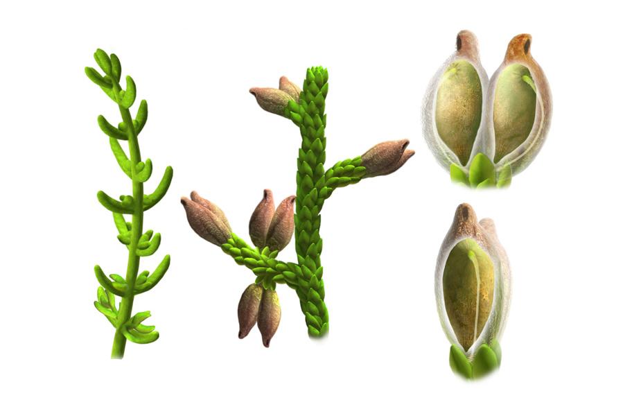 Illustrationen, die auf versteinerten Überreste basieren, zeigen Lang- und Kurzblättrige Formen der Pflanze Montsechia vidalii und einen ihrer Samen.