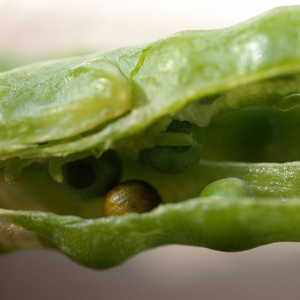Erhöhten die Forscher die Brassinosteroidbiosynthese, begannen die Rapspflanzen, vermehrt Rapskörner zu bilden. Auf diese Weise ließe sich z.B. der Rapsölertrag erhöhen.