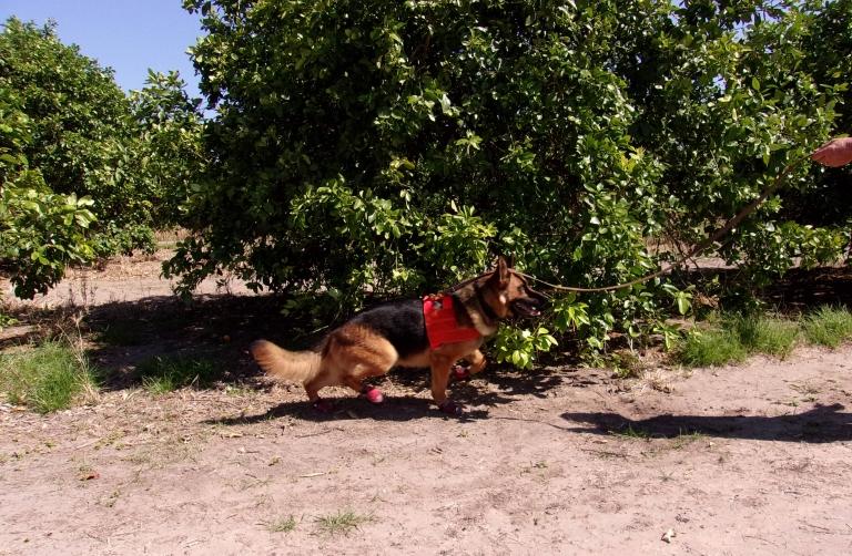 Hund in Aktion: Der Hund wird herumgeführt und schlägt Alarm, wenn er etwas Verdächtiges riecht.