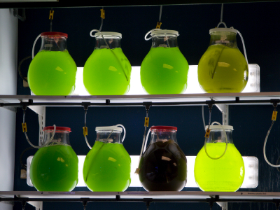 Algen im Forschungsbioreaktor.