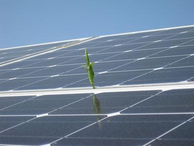 Sonnenkollektoren befinden sich auch auf den künstlichen Blättern, die mit der Solarengie Wasser spalten. Das Endprodukt ist reiner Wasserstoff, mit dem Brennstoffzellen betrieben werden können.