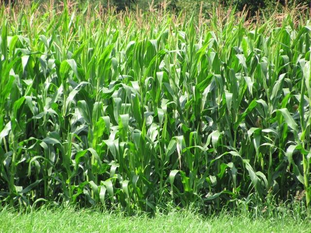 Aus Mais lässt sich Bioethanol herstellen. (Quelle: © Janeela / pixelio.de)