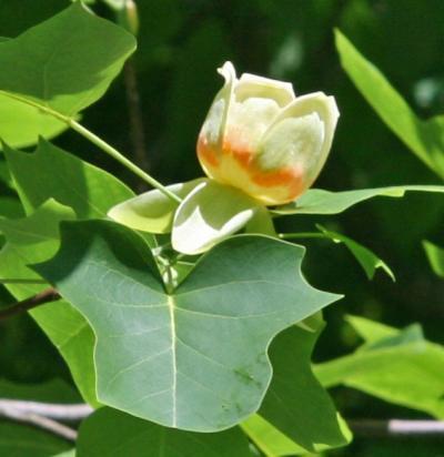 Hübsches Fossil: Der Tulpenbaum Liriodendron tulipifera gehört zu den ältesten Blütenpflanzen. Auch die genetische Ausstattung seiner Mitochondrien ist seit Jahrmillionen weitestgehend unverändert geblieben.