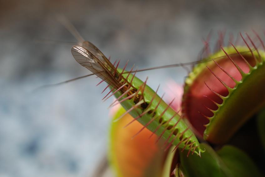 Die Blätter der fleischfressenden Venusfliegenfalle sind zu Fallen umfunktioniert. Blitzschnell schnappen sie zu und fangen so Beute. (Quelle: © asoby - Fotolia.com)